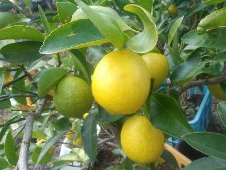 日本で栽培できるタヒチライム
