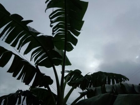 バナナの葉写真