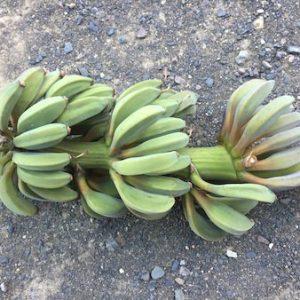 日本でのバナナ路地栽培