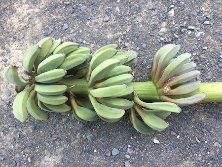 耐寒性『アイスクリームバナナ』を日本の庭で栽培。果実は食べれませんでした!