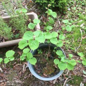 暑い地方でのリンデン栽培と地植え
