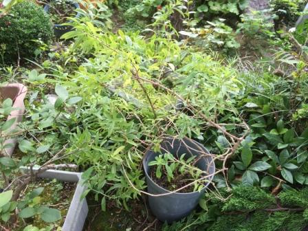 樹形が乱れたレモンバーベナの写真