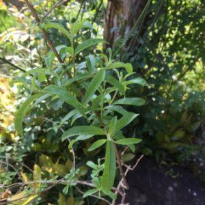 レモンバーベナの剪定と地植え