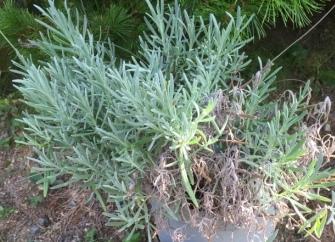 暖地でも育てることができるラベンダーの栽培記録