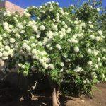 北大植物園で見つけた白くて美しい花『スノーボール』