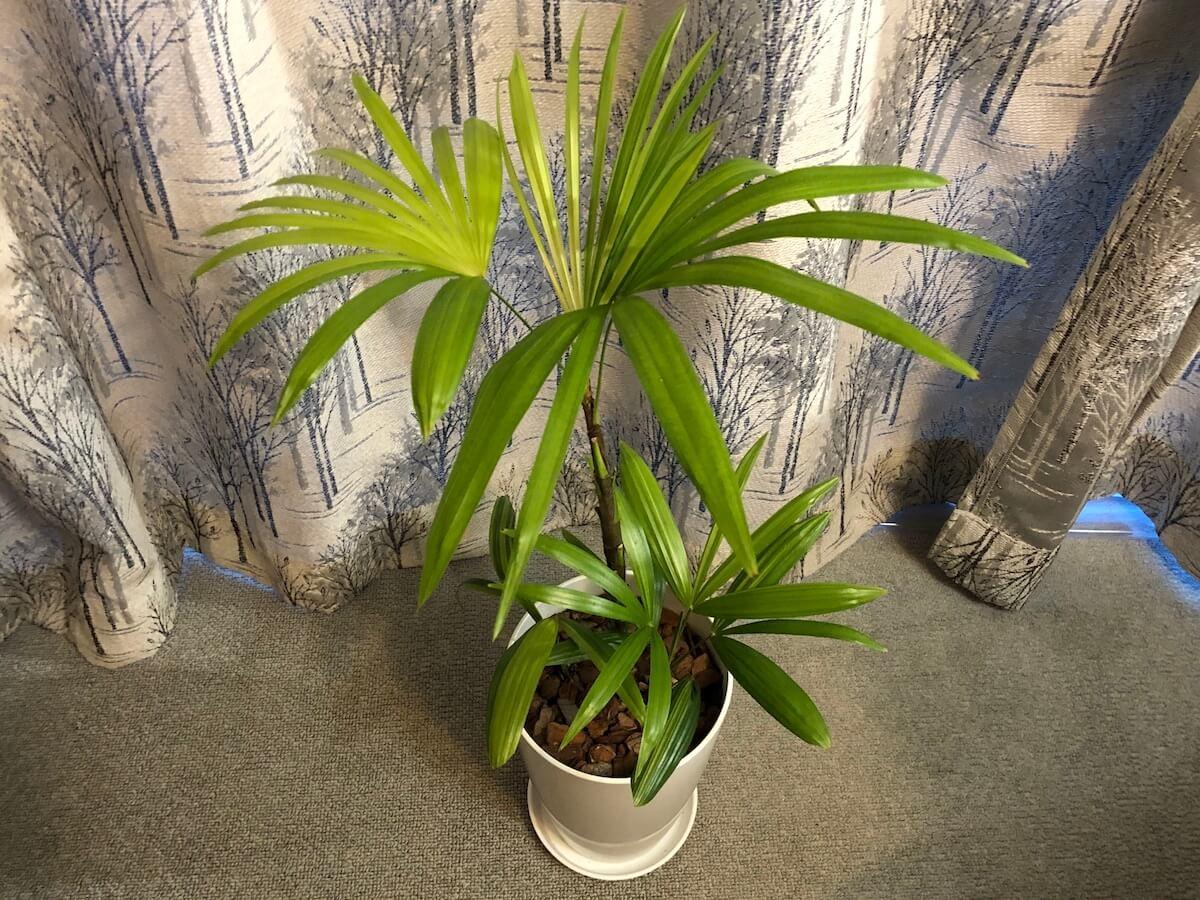 プラスチック鉢に植えたシュロチクの写真2