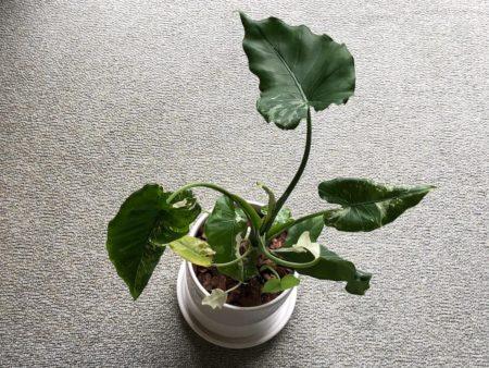 クワズイモを植えた陶器鉢の写真