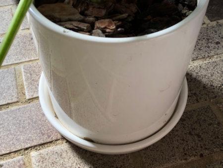 クワズイモを植えた陶器鉢の写真3