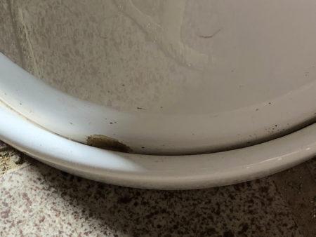 クワズイモを植えた陶器鉢の写真4