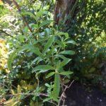 🌿レモン系ハーブの種類と栽培メモ