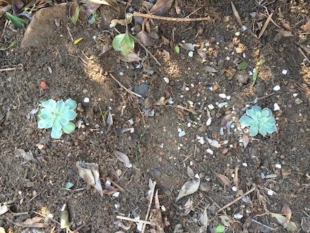 植え付け作業中のエケベリア写真