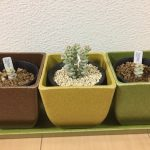クラッスラの種類と栽培