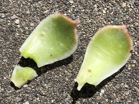 エケベリアの葉の回収に失敗した写真