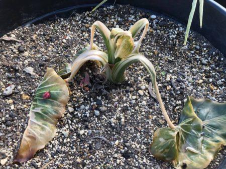 寒さで枯れた斑入りクワズイモの写真
