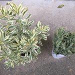庭に植えたい斑入りハーブ苗
