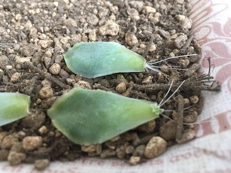 hエケベリアの葉挿し発芽写真