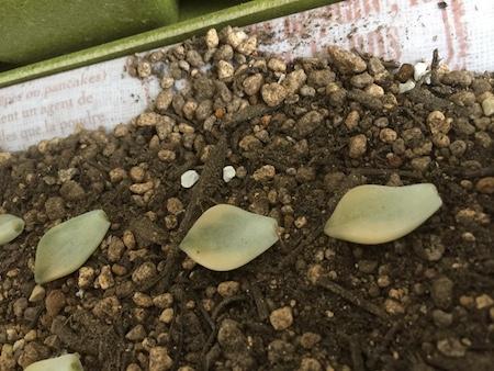 斑入りの葉挿し例写真