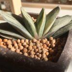 🌵多肉植物『ガステリア』の種類と室内栽培