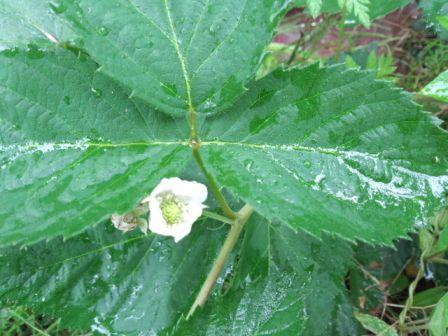 ブラックベリーの白い花写真