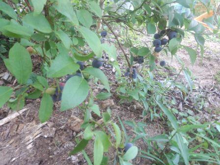 暖地でブルーベリーを栽培するなら、ラビットアイの晩生品種がおすすめ!