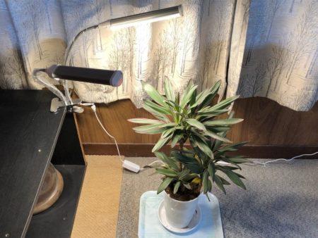 クリップ式植物育成ライトで高さのある観葉植物を照らしている写真