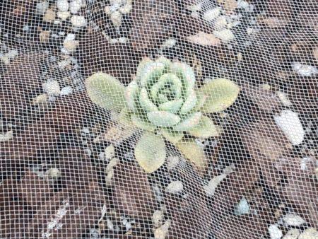 寒冷紗で保護した植物写真
