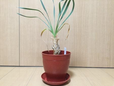 鉢に植え替えたブーファンディスティカの写真