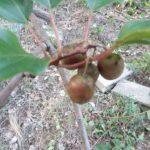 ベビーキウイ(さるなし)品種と栽培