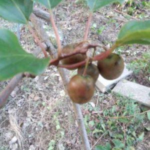 ベビーキウイ(さるなし)の品種と栽培