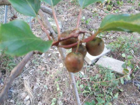 【鉢植え栽培可能】ベビーキウイ(さるなし)の品種と育て方を説明。小さく育てよう!