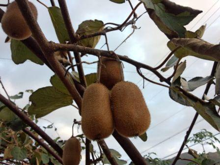 キウイフルーツの品種と栽培