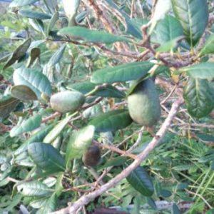 フェイジョアの品種と栽培