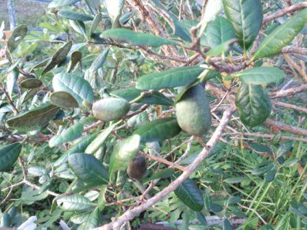 フェイジョアの果実が鳴っている写真