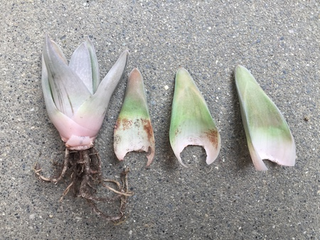 ガステラロエの葉を回収した写真