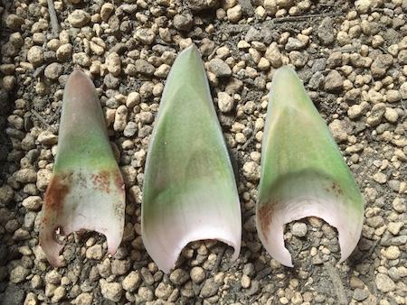 ガステラロエの葉挿し写真