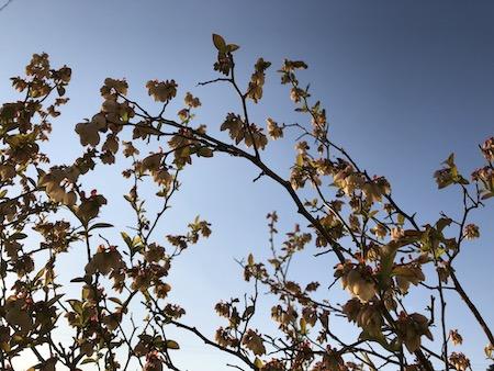 いっぱい咲いたブルーベリーの花写真