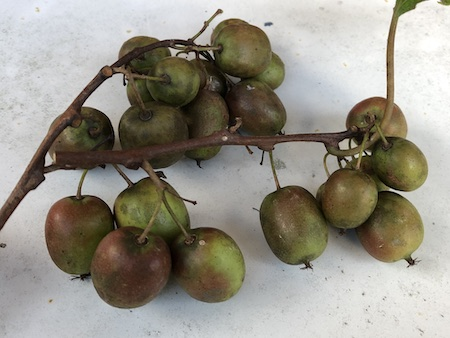ミニキウイ の収穫写真