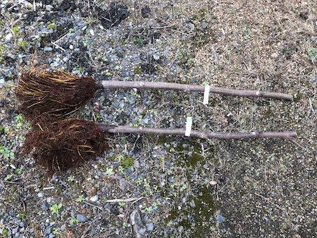カルフォルニアブラックの苗写真