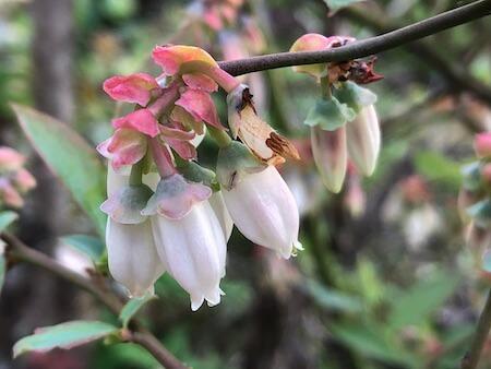 ノビリスの花写真