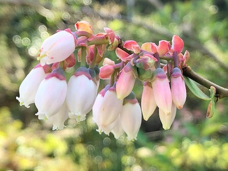 デライトの花写真