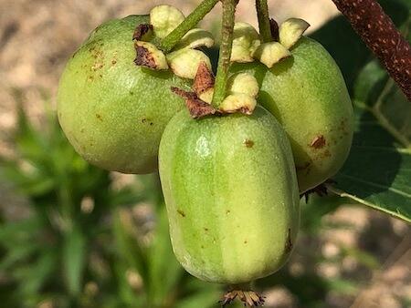斑入りサルナシ『フクチマルコ 』の果実写真