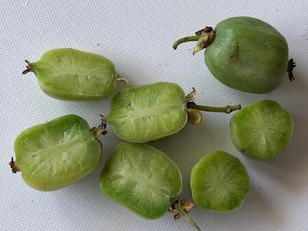 斑入りサルナシ『フクチマルコ 』の果実カット写真