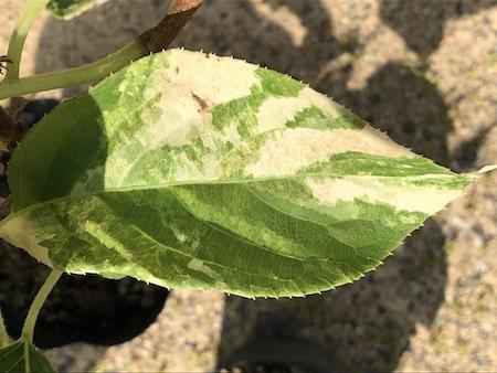 斑入りサルナシ『フクチマルコ 』の斑入り葉写真