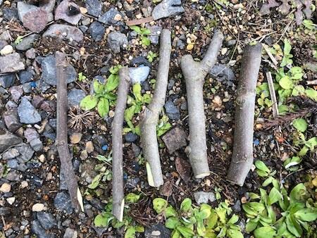 イチジクの穂木写真
