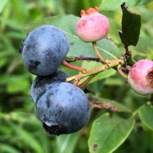【ベランダでも育てれる!】鉢植え栽培ができる果樹たち。ホームフルーツを楽しもう。