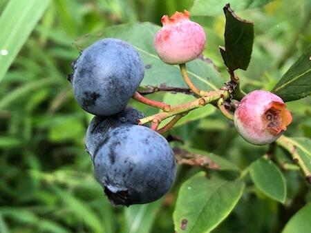 ノビリスの果実が熟した写真