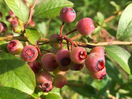 バルドウィンの成熟前果実写真2