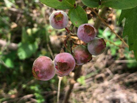 ノビリスの成熟前果実写真2