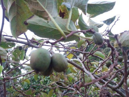 サルナシ果実の写真
