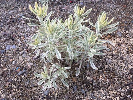 斑入りラベンダー(lavender variegated)